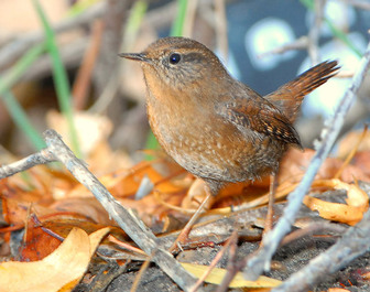 Winter Wren - Provo Canyon UT