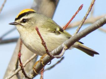 Golden-crown Kinglet Provo Utah