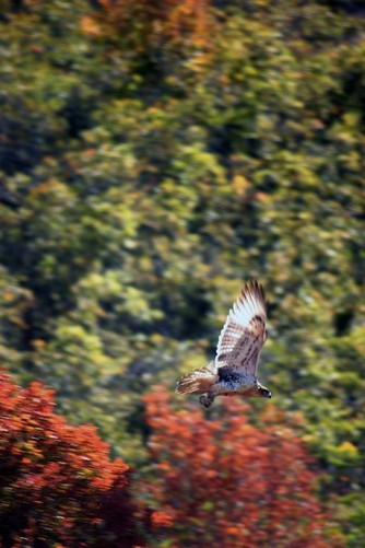 Broad-winged Hawk - Squaw Peak Provo Utah