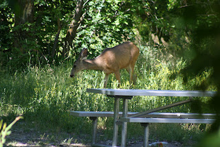 Wildlife in Provo Canyon - Deer feeding in Nunns Park Utah